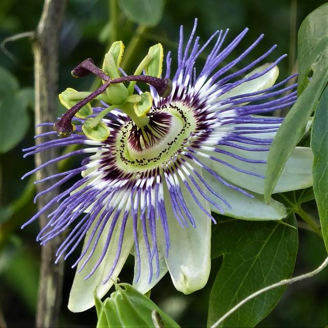 San Francisco, CA, Golden Gate Park, San Francisco Botanical Garden, Passion Flower, Macro