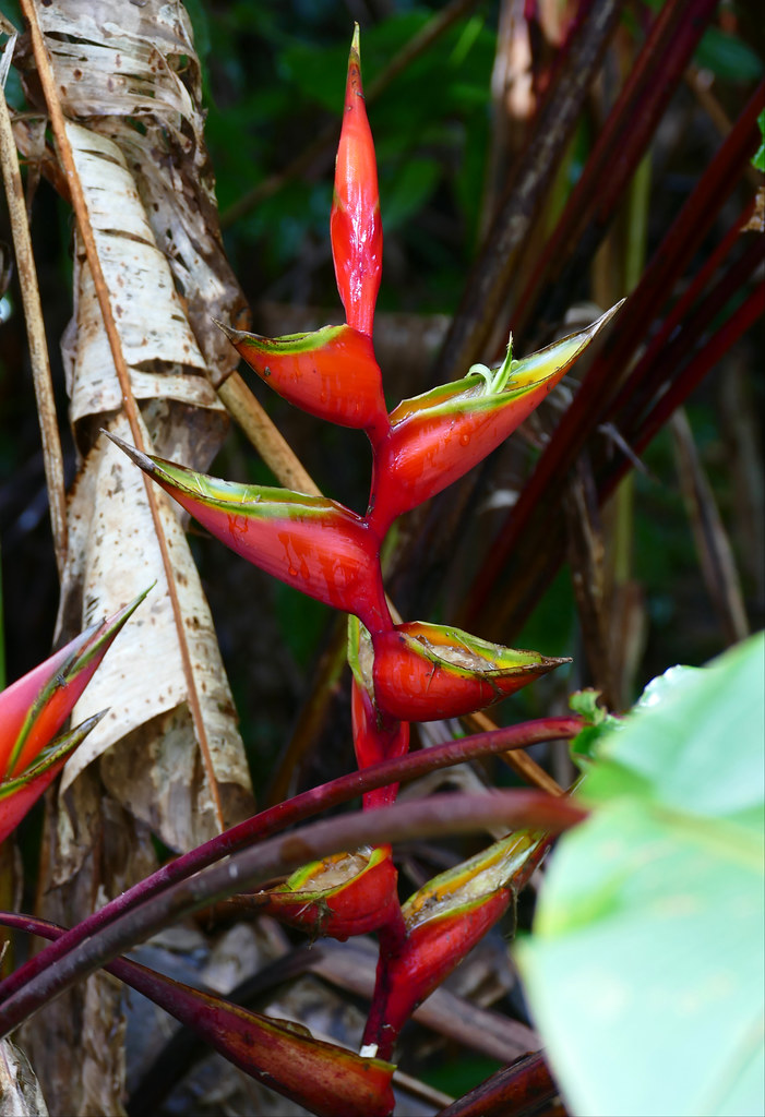 Macaw Flower (Heliconia bihai)