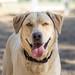 Simba Dog Portrait