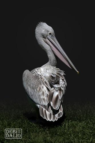 pelican pinkbackedpelican bird animal wildanimal wildlife portrait photography waterbird outdoor