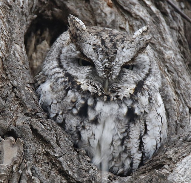 Eastern Screech Owl, Burlington.