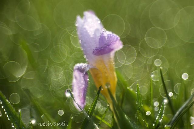 Vorst en zon, de krokus houdt stand/Frost and sunshine the crocus holds