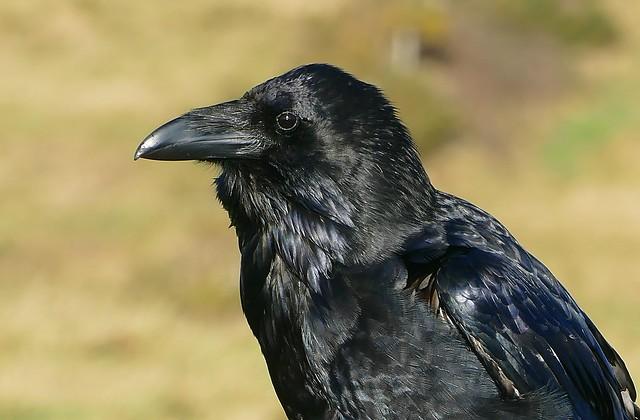 Raven -Corvus corax - Dorset coast -100118 (23) _Explored