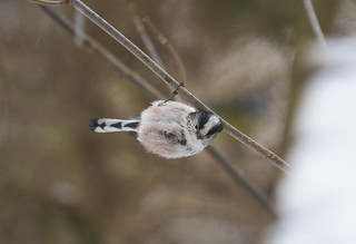 Long-tailed Tit, The Lodge RSPB, 1st March 2018