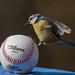 La Cinciarella e il Baseball by lorenzomazzetti