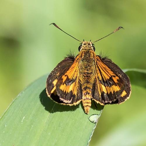 butterfly lepidoptera dart grassdart minnippiwetlands rear