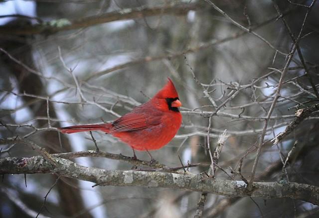 ~ Winter Cardinal ...