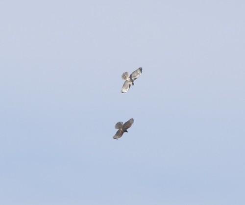 kevinlucas lateralc toppenishcreek yakimacounty yakimacountyrarebird redshoulderedhawk marygiovanini redtailedhawk buteolineatus sky
