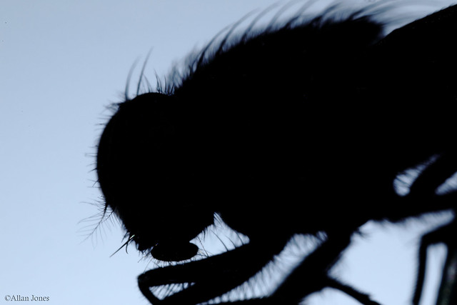 Fly silhouette