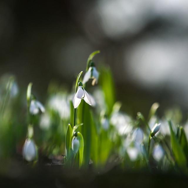 More Snowdrops
