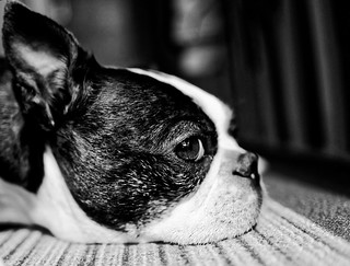 Boston Terrier resting B&W | by Silbersurfer