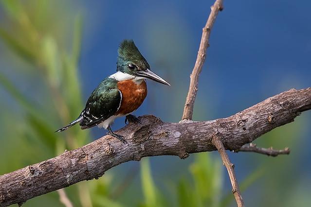 Martim-pescador-pequeno (Chloroceryle americana) - Green Kingfisher