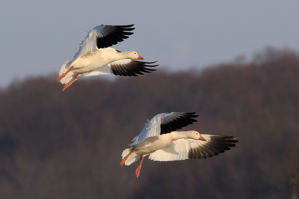 Snow Geese at Middle Creek Wildlife Management Area-26