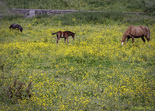Horses Grazing in Field of Yellow Flowers