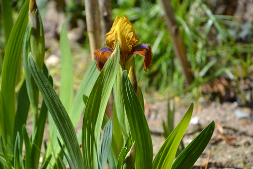 Iris nains horticoles 2012-2015 32596671302_41cd157fd8