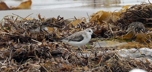 Sanderling (Calidris alba) | by TurboTony2