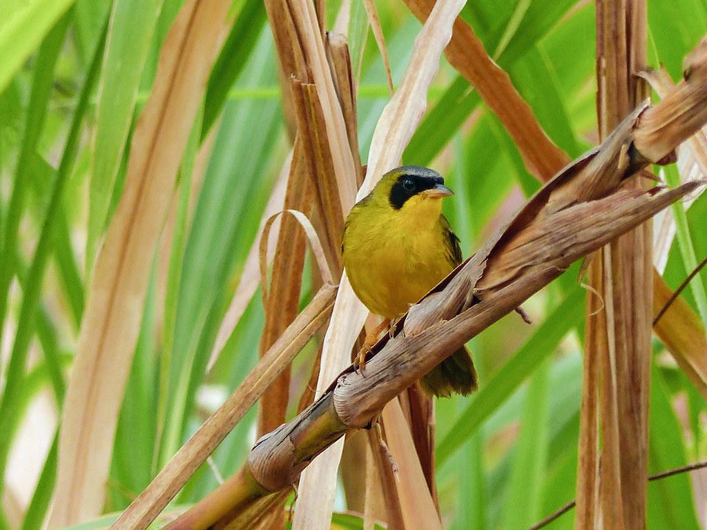 Masked Yellowthroat / Geothlypis aequinoctialis, Trinidad