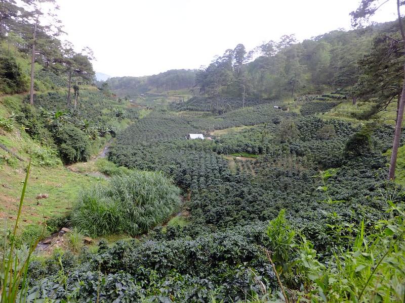 Một vườn cà phê tại Khe Sanh - Quảng Trị