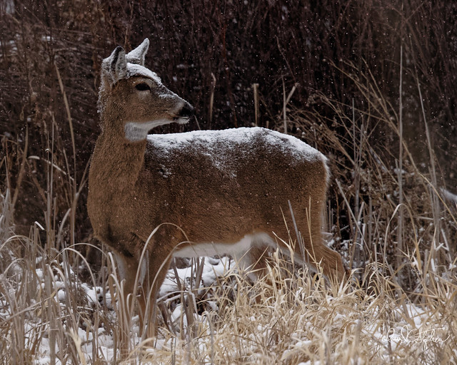 White-tail Poses In Snow
