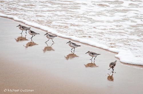 shorebirds sanderlings birds beach surf foam seafoam sand reflections redondobeach california southerncalifornia nikon d90 southredondobeach coast