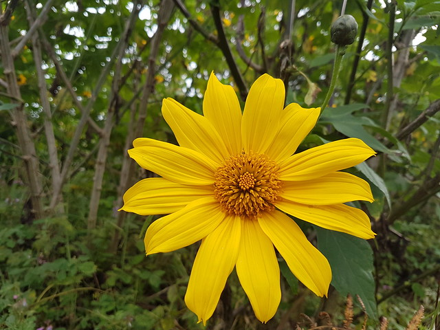 """Yellow Flower Philippines """"Sunflower"""" Cordilleras © Gelbe Blume"""