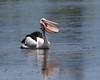 Australasian Pelican by Mark_Coates