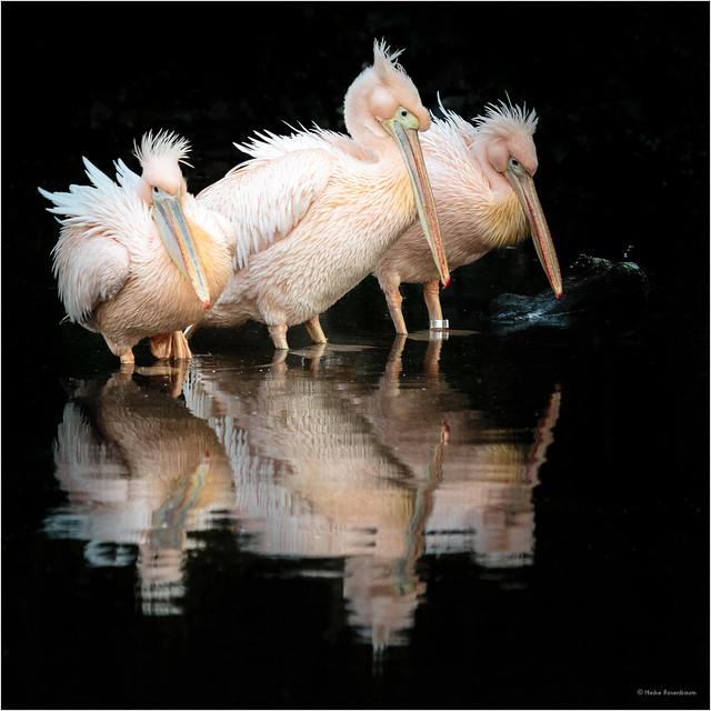 Drei Pelikane - three pelicans