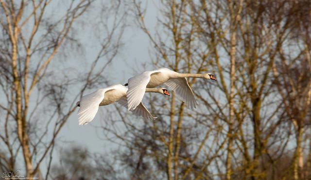 Graceful Mute Swans