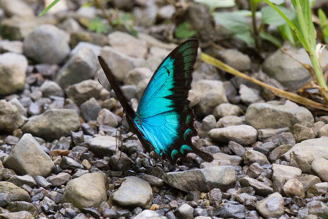 Papilio lorquinianus dewaro (Seagreen Swallowtail)
