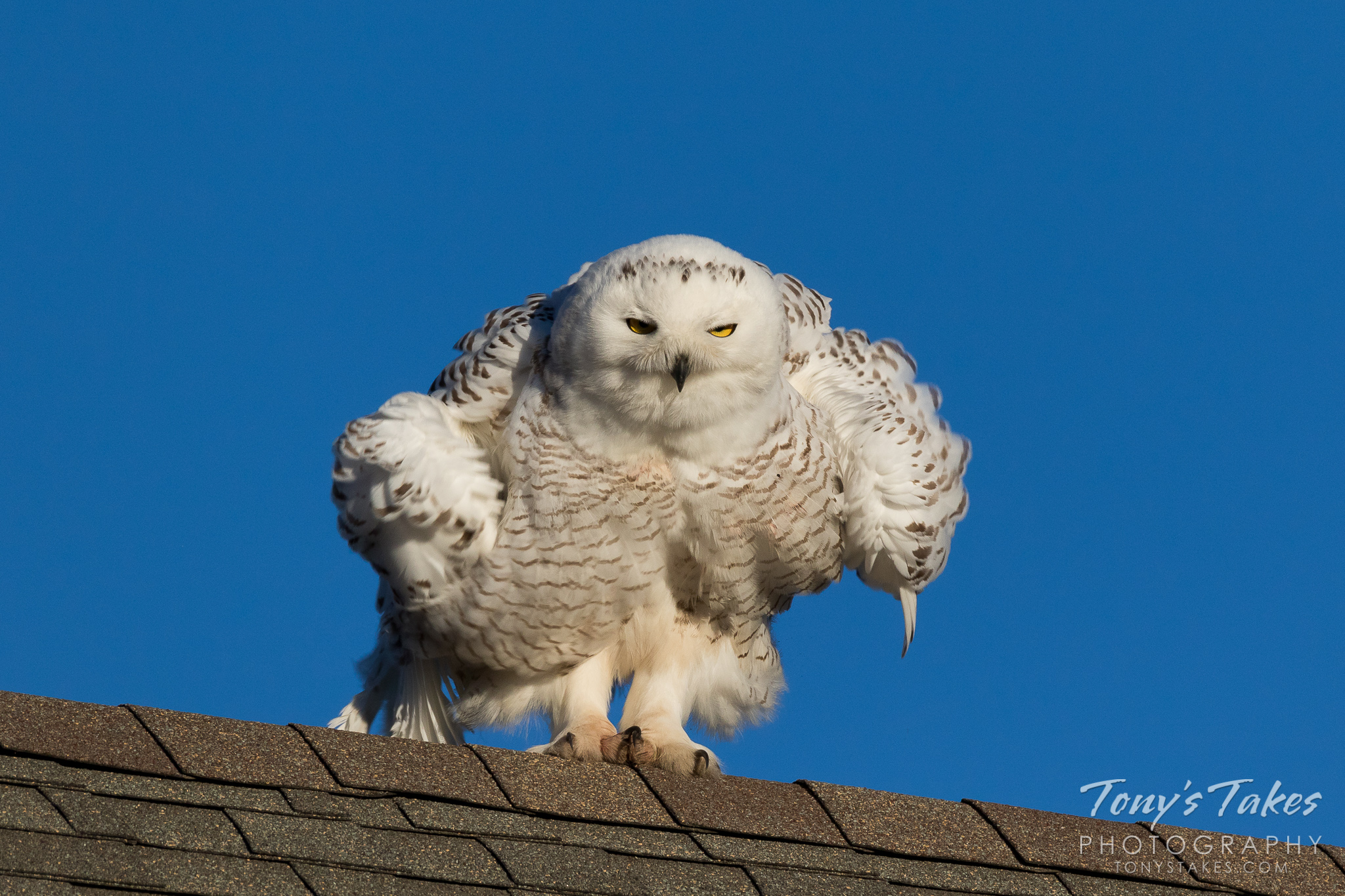 Shaking it up for Snowy Owl Sunday!