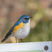 ルリビタキ(Red-flanked bluetail)