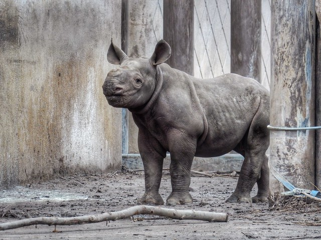 Mara the Baby Black Rhino