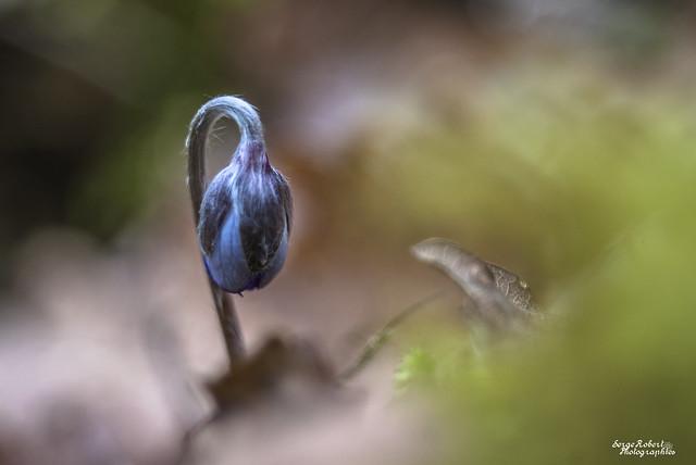 Anémone hépatique (Hepatica nobilis)
