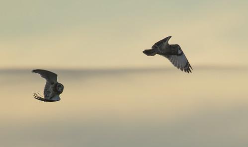 shortearedowl owl beautiful raptor flight flying bird wildlife wild wings nature avian canon
