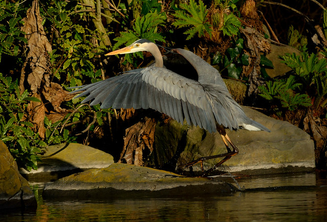 Heron Spreads its Wings