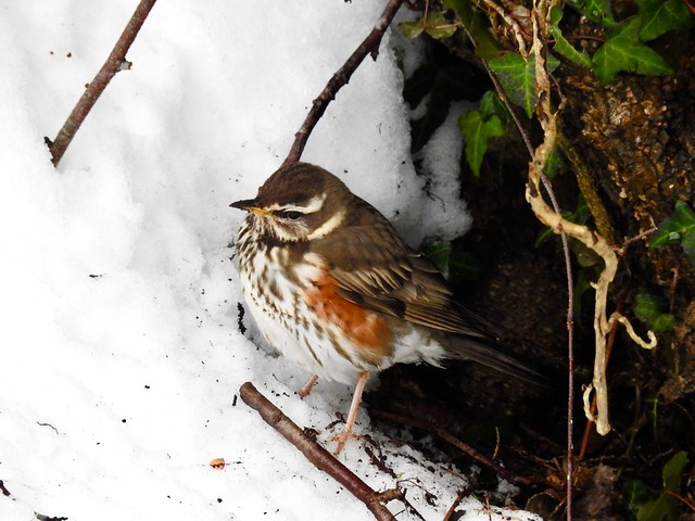 Redwing, Monmouthshire-Brecon Canal, Forgehammer, Cwmbran 3 March 2018