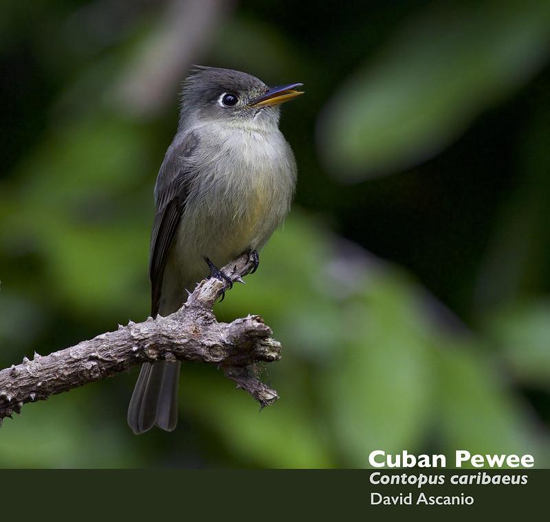 Cuban Pewee, Contopus caribaeus_199A3525