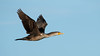 Double-crested Cormorant by Bill McBride Photography