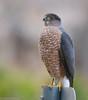 Cooper's Hawk by Ceredig Roberts