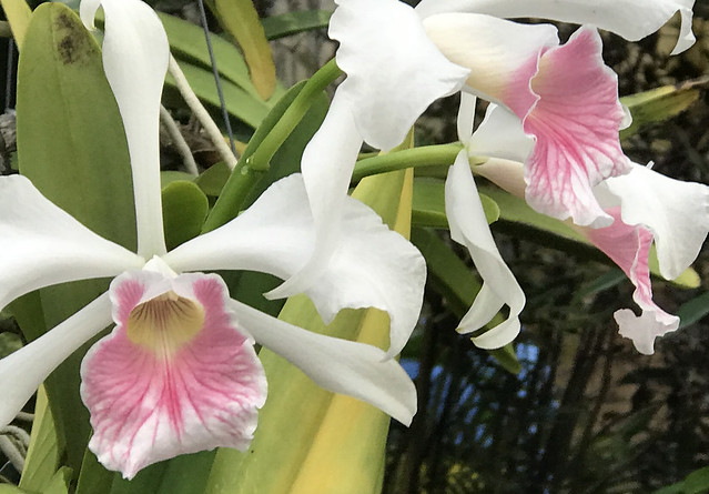 Selby Gardens Orchid