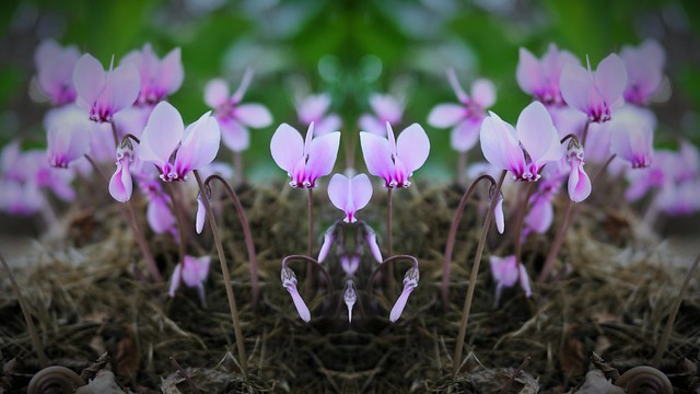 Cyclamen, fleurs.