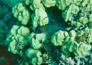 Saddleback wrasse, Cleaner wrasse, Maui, Hawaii 95-16-23_8.3.95Underwater_Yup