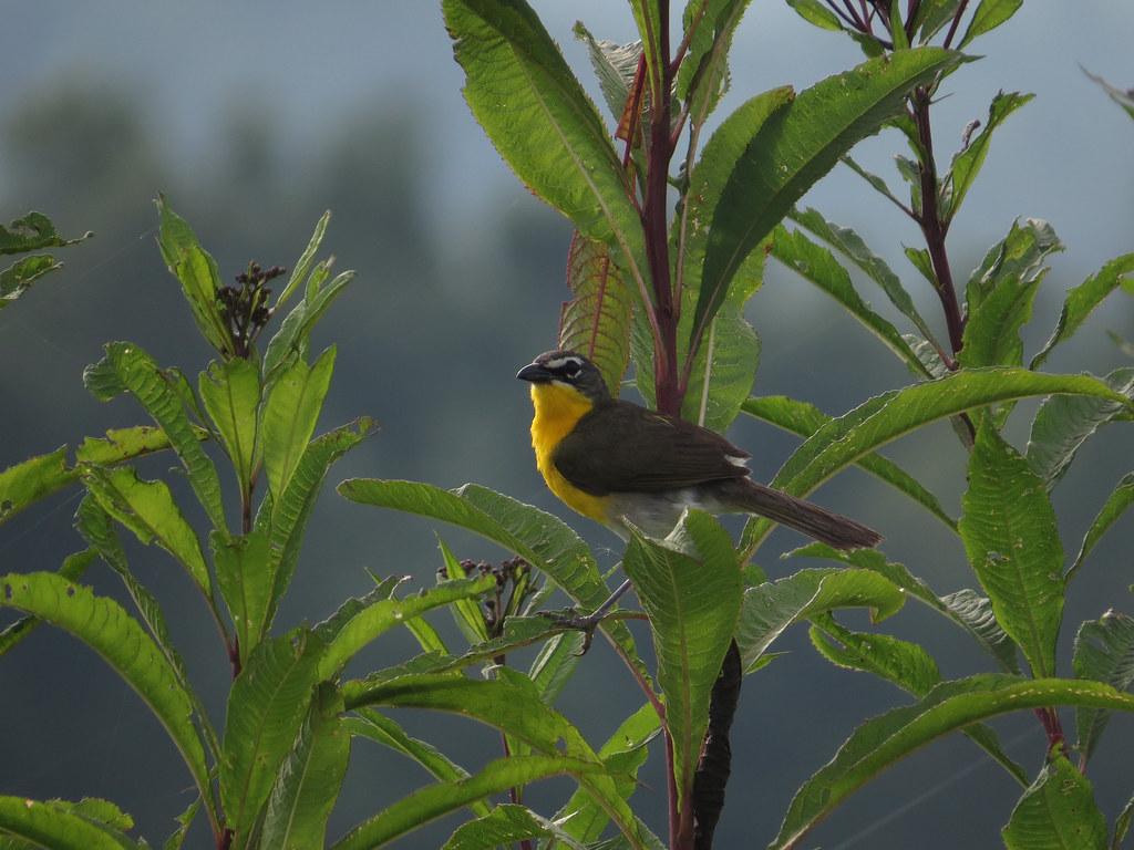 Yellow-breasted Chat, July 2015--Warren Bielenberg