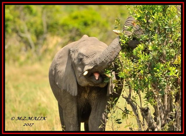 YOUNG AFRICAN ELEPHANT (Loxodonta africana)....MASAI MARA....OCT 2017