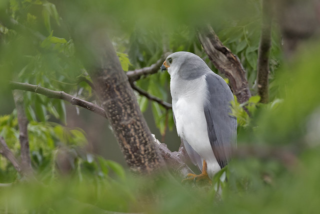 Grey Goshawk