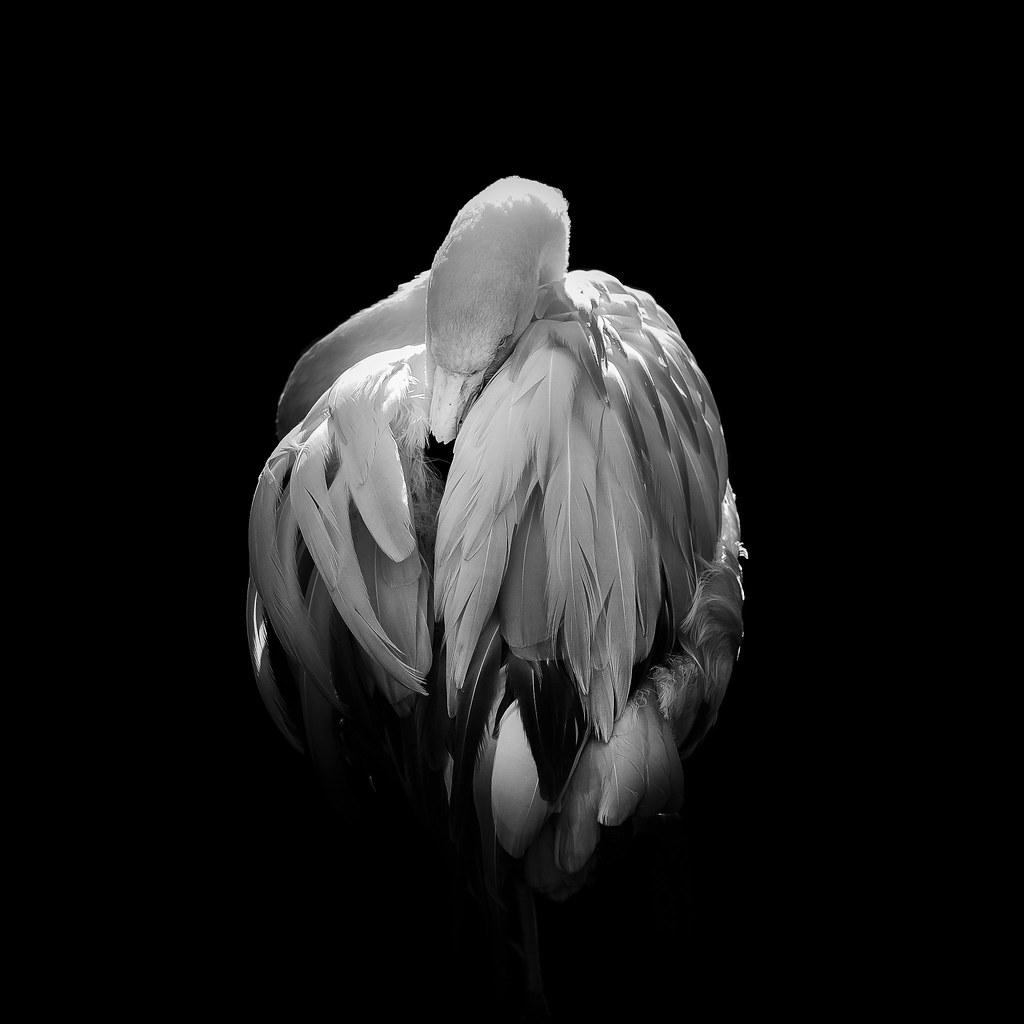 Flamingo - Mono Version | Dan Portch | Flickr