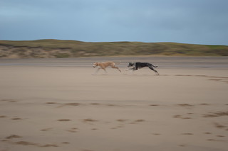 Lurcher run on Crimdon Beach | by ZoqyPhoto