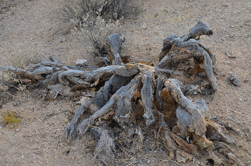 Tucson Gilber Ray Brown Mountain Cholla that died | by Pierre Yeremian