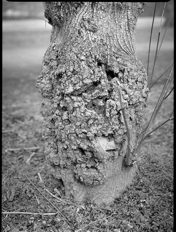 old tree trunk, Carrier Park, Asheville, North Carolina, Mamiya 645 Pro, mamiya sekor 80mm f-2.8, early February 2018