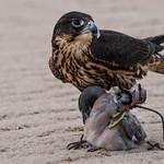 Falcon and his prey